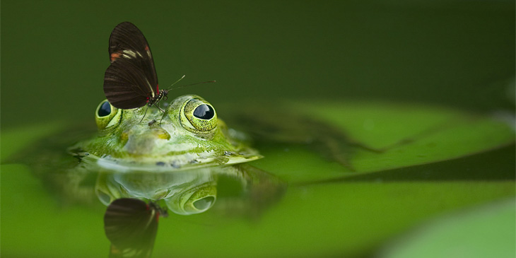 the eyes of a frog appearing above the water with a butterfly on its nose